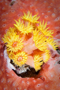 Yellow Anemone off Rottnest Island. Canon 20D 60mm Macro by Mick Tait