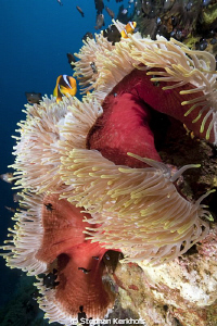 Magnificent anemone taken at Anemone City, Ras Mohammed by Stephan Kerkhofs