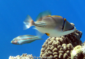 Arab  Triggerfish  Picasso (Rhinecanthus assasi) and in b... by Alberto Romeo