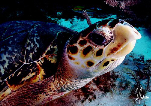 The image of a turtle was taken off Cozumel. They all see... by Steven Anderson