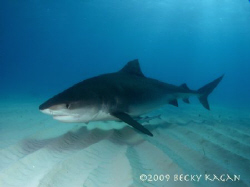 Big 14 foot female tiger shark swims by checking out the ... by Becky Kagan