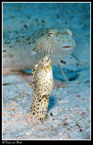 Crocodile snake eel and sandperch. by Dray Van Beeck