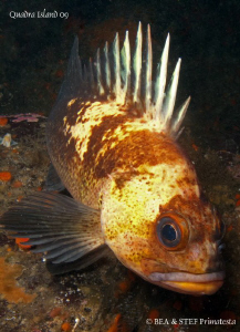 Quillback rockfish (Sebastes maliger). Quadra Island, BC.... by Bea & Stef Primatesta