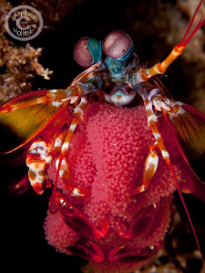 Mantis Shrimp with Eggs.  Took a long and careful approac... by Stephen Holinski