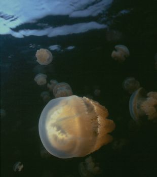 Jellies Everywhere!  Taken while snorkeling at Jellyfish ... by Beverly J. Speed