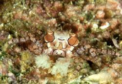 Boxer Crab in Manado by Alberto D'este