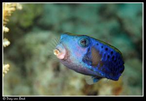 Arabian boxfish by Dray Van Beeck