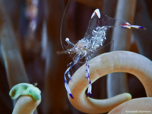 Glass shrimp by Aleksandr Marinicev