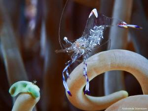 Glass shrimp by Aleksandr Marinicev