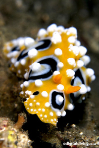 Nudibranch (Phyllidia ocellata) in Lembeh by David Henshaw