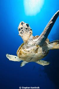 Hawksbill turtle taken at Shark observatory, Ras Mohammed. by Stephan Kerkhofs