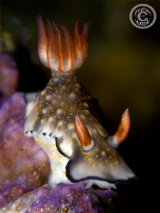 Nudi shot in Anilao.  Canon G10, single Inon UCL165, Sea ... by Stephen Holinski