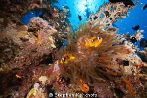 magnificent anemone taken at Ras Ghozlani, Ras mohammed. by Stephan Kerkhofs