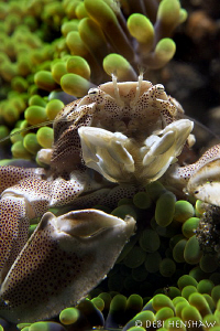 """""""All Hunched Up"""" Porcelain Crab Lembeh by Debi Henshaw"""