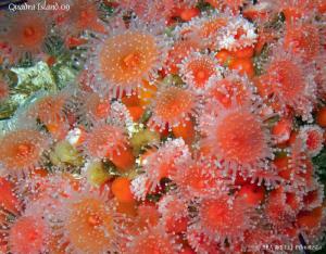 Strawberry anemones. Quadra Island, BC. Canon G10. by Bea & Stef Primatesta