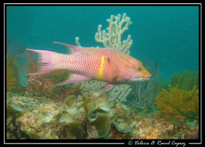 Hogfish in front of millions of very small fish in the Co... by Raoul Caprez