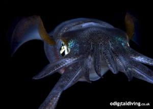 Big Fin Reef Squid. Taken with D200 and 60mm lens. by David Henshaw