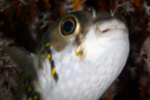 Puffer Fish under the Busselton Jetty. Canon 20D 100 Macro by Mick Tait
