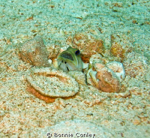 Jawfish with eggs seen in Freeport Bahamas May 2009.  Thi... by Bonnie Conley
