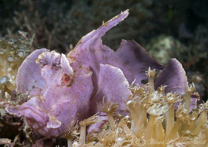 Paddle-Flap Scorpion Fish. Lembeh. D200, 60mm. by Derek Haslam