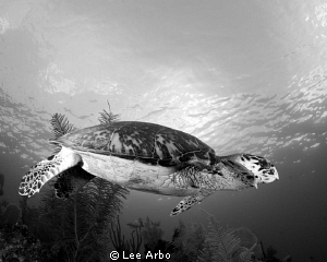 Hawksbill shot with Nikon D300 and Tokina 10-17.  Desatur... by Lee Arbo