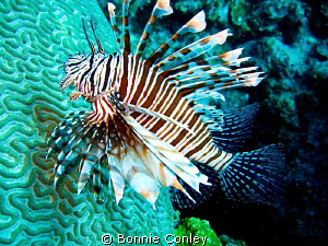 Lionfish seen in Freeport Bahamas May 2009.  Photo taken ... by Bonnie Conley