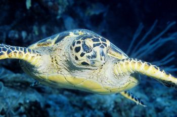 Hawksbill Turtle in The Cayman Islands by Eric Bancroft