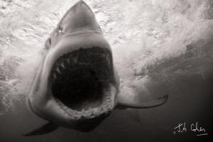 Great White Shark by Julian Cohen