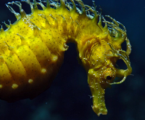 Seahorse Macro shot at island Gangaro near Biograd by Andy Kutsch