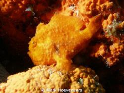 Beautiful Frog Fish. Taken on Bonaire at Windsock. Olympu... by Mark Hoevenaars