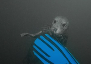 Fin chewing seal. Farne Islands. Oct 08. D200 10.5mm.  by Mark Thomas