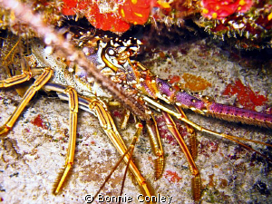 Lobster seen in Freeport Bahamas May 2009.   Photo taken ... by Bonnie Conley