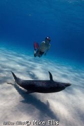 Freediver Swims with a Atlantic spotted dolphin on white ... by Mike Ellis