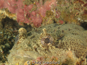 The second toadfish pic from my trip to Myrtle Beach, SC.... by Chris Crediford