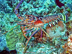 Lobster seen in Freeport Bahamas May 2009.  Photo taken w... by Bonnie Conley