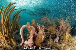 diver and silversides by Javier Sandoval