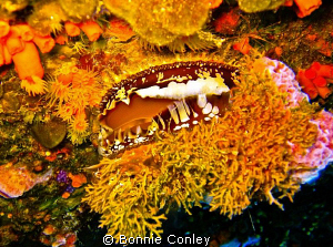 North Atlantic Thorny Oyster seen on a wreck in Freeport ... by Bonnie Conley