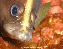 Grumpy fish up close.  Shooting with a Canon SD 850IS, no... by Anna Peteranecz