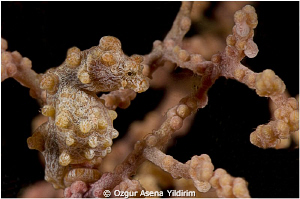 I took pygmy sea horse with 105 mm macrolens and macromat... by Ozgur Asena Yildirim
