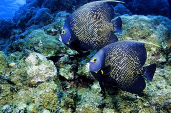 French Angelfish in The Cayman Islands by Eric Bancroft