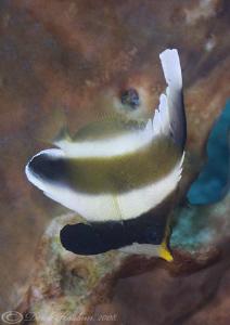 Pennant Bannerfish. Lembeh straits. D200, 60mm. by Derek Haslam