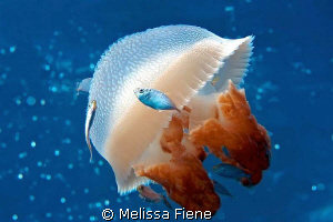 Mosaic Jellyfish with driftfish in the coral sea. Nikon D... by Melissa Fiene
