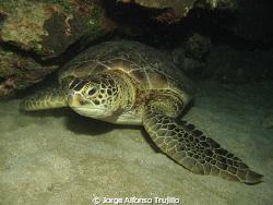 Beautiful carey turtle at night dive at Isla de Lobos, Ve... by Jorge Alfonso Trujillo