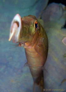 Trumpetfish from a different perspective! no cropping by Debi Henshaw