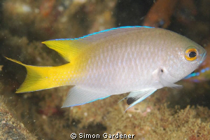 SIND DAMSELFISH ( NEOPOMACENTRUS SINDENSIS ) SHOT WITH NI... by Simon Gardener
