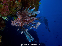 Invasive Lion Fish in San Salvador Island, Bahamas.