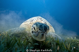 Green turtle up close and personal taken in Na'ama Bay. by Stephan Kerkhofs