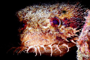 Image of a Large Eyed Toadfish found  under the same type... by Steven Anderson