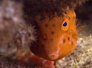 Juvenile Boxfish, Bare Island by Doug Anderson