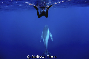 snorkeler and humpback whale. Vava'u Tonga. Nikon D300 wi... by Melissa Fiene
